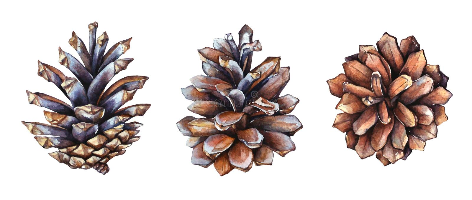 Collection of realistic watercolor illustrations of the pine cones on white background. Watercolor realistic illustration of the pine cones from side view and royalty free illustration