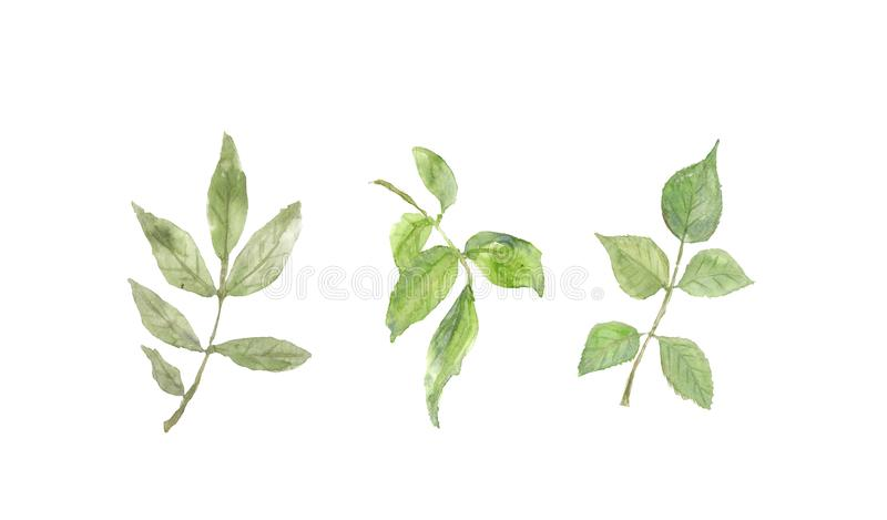 Collection of rose leave on white background royalty free illustration