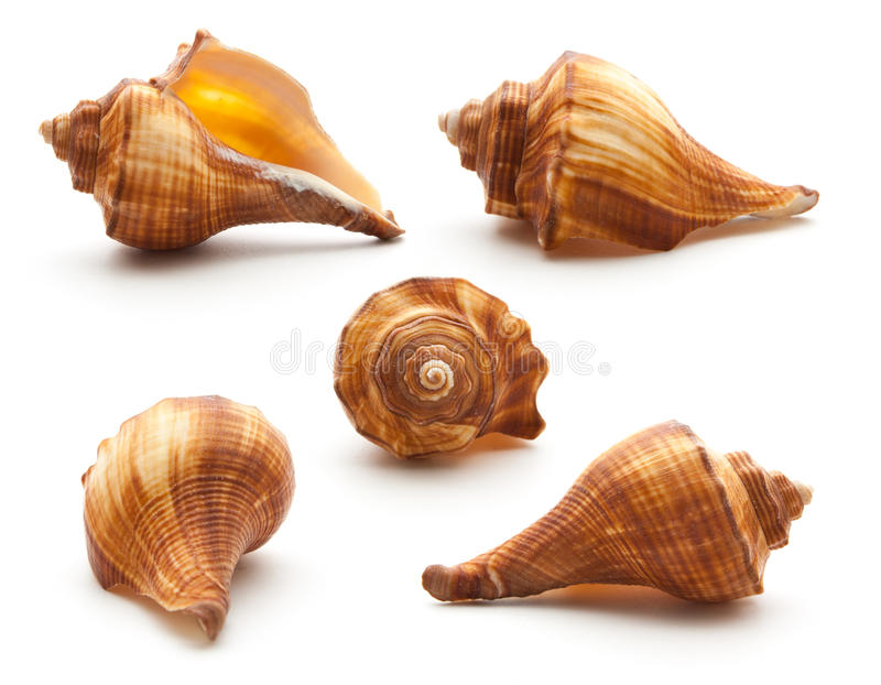 Collection sea shell isolated on white royalty free stock image