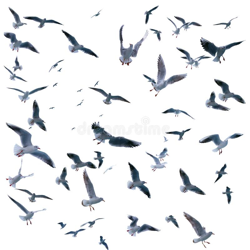 Collection of seagulls in flight. sea birds. Isolated on white background stock photography