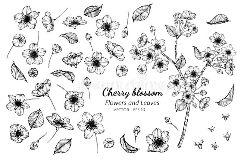 Collection set of cherry blossom flower and leaves drawing illustration vector illustration