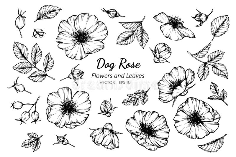 Collection set of dog rose flower and leaves drawing illustration. For pattern, logo, template, banner, posters, invitation and greeting card design royalty free illustration