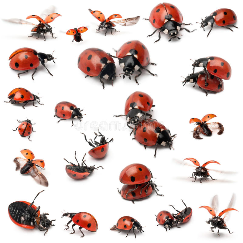 Collection of Seven-spot ladybirds stock image