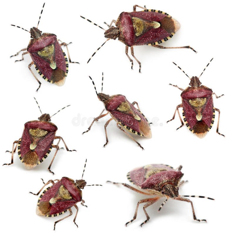 Collection of Shield bugs, Dolycoris baccarum royalty free stock image