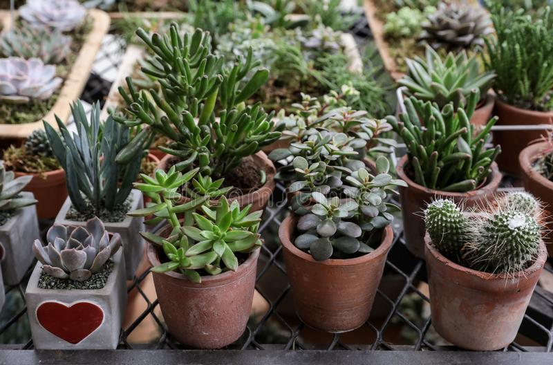Collection of small decorative succulents in pots stock photography