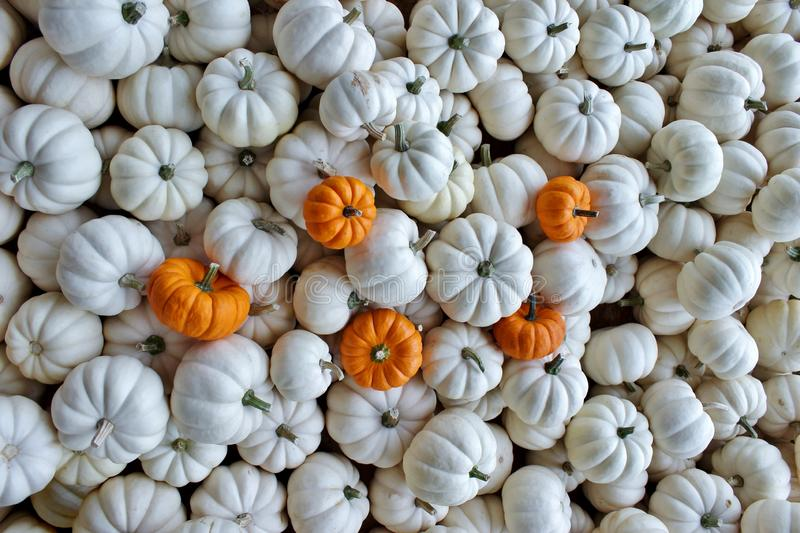 Collection of Small White Pumpkins with Five Small Orange Pumpkin royalty free stock image
