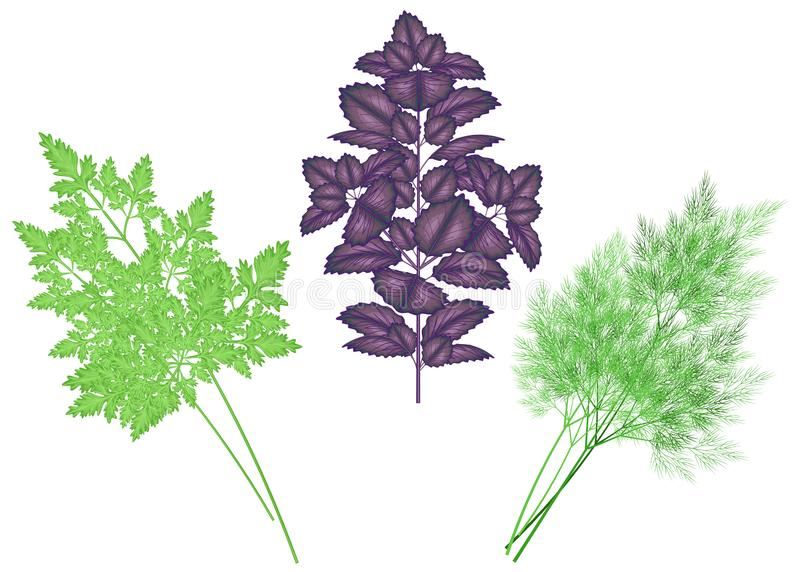 A collection of spicy herbs. Parsley, basil and dill are necessary for cooking. The source of vitamins and nutrients. Vector. Illustration royalty free illustration