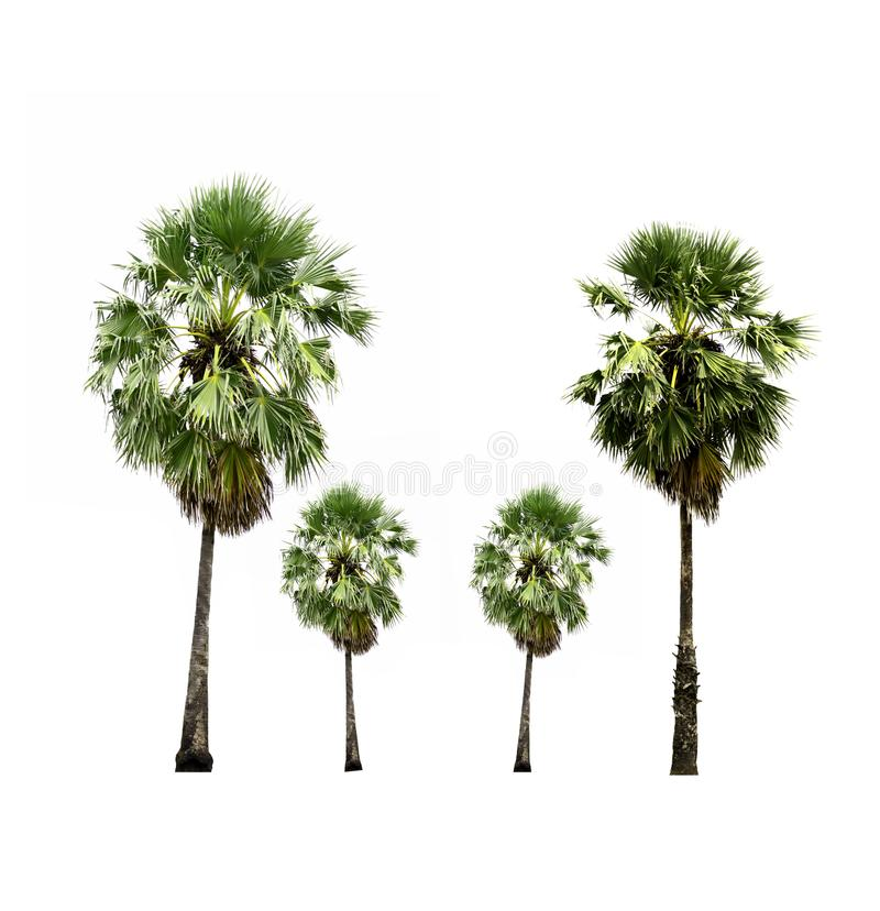 Collection of sugar palm tree growing up on roadside in countryside isolated on white. stock photo