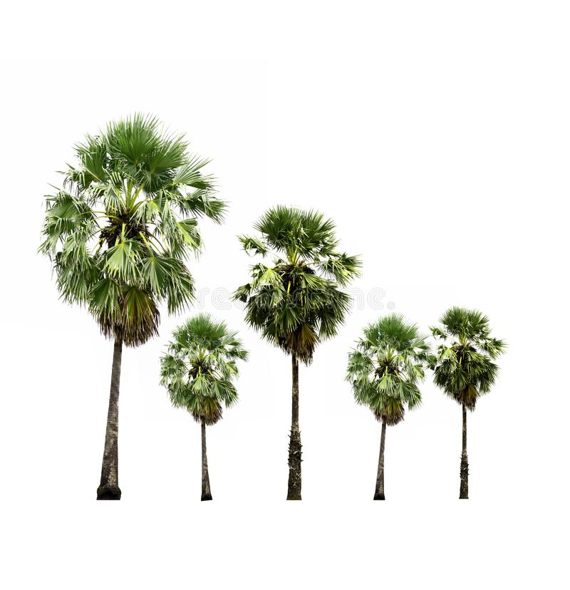 Collection of sugar palm trees isolated on white background. stock illustration