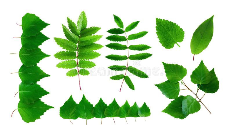 Collection of summer green leaves and branches isolated on a white background stock images