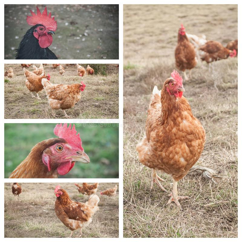 Traditional free range poultry farming collage royalty free stock images