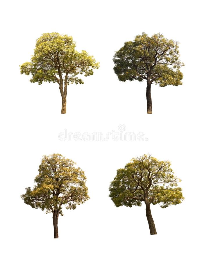 Collection of trees, ,little Tabebuia Aurea trees isolated on white background,fresh,beautiful. royalty free stock photo