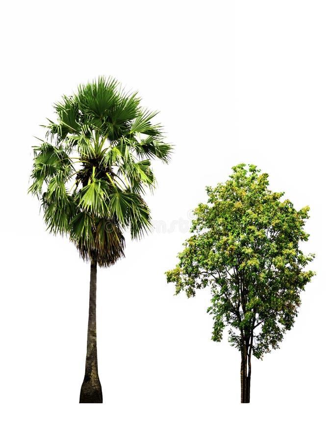 Close up Sugar palm tree and Burma padauk tree isolated on white background. royalty free stock images