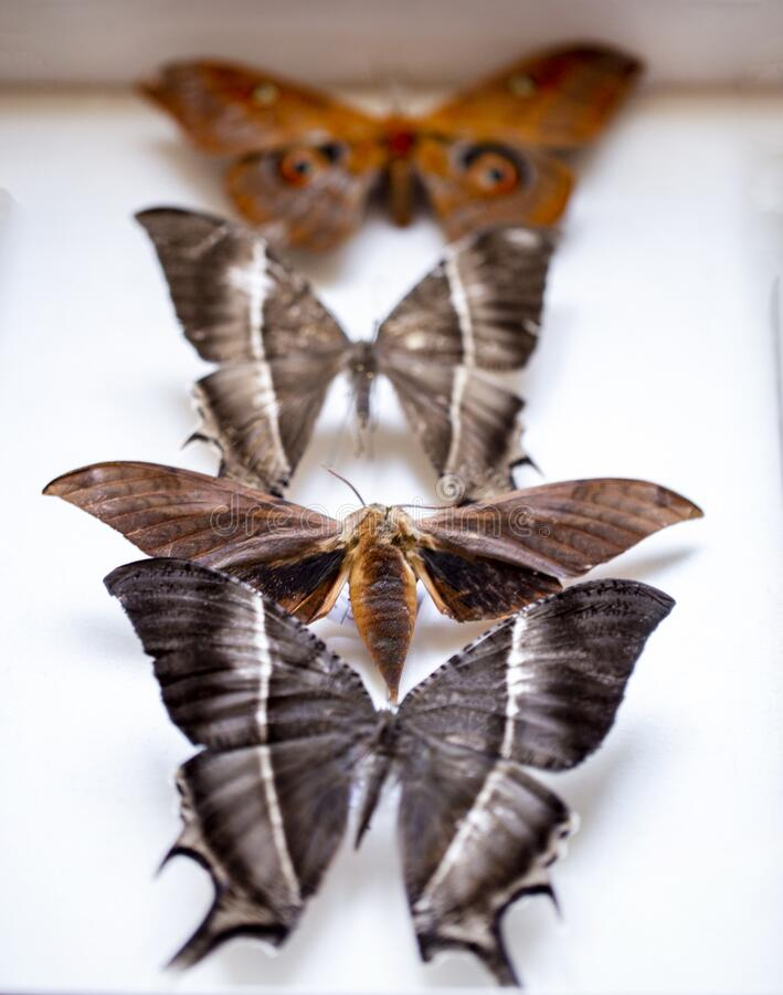 Collection of tropical butterflies to study science entomology. Entomology. collection of tropical butterflies to study science entomology royalty free stock photography