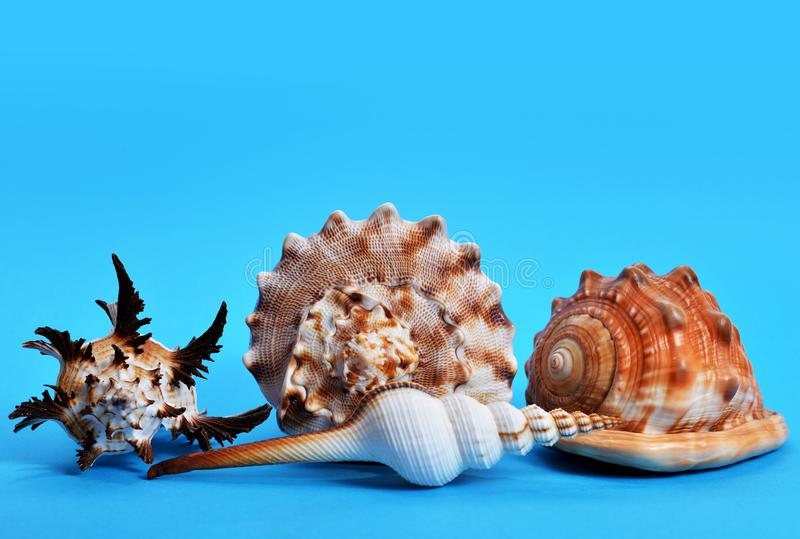Collection of tropical conch shells. stock photography