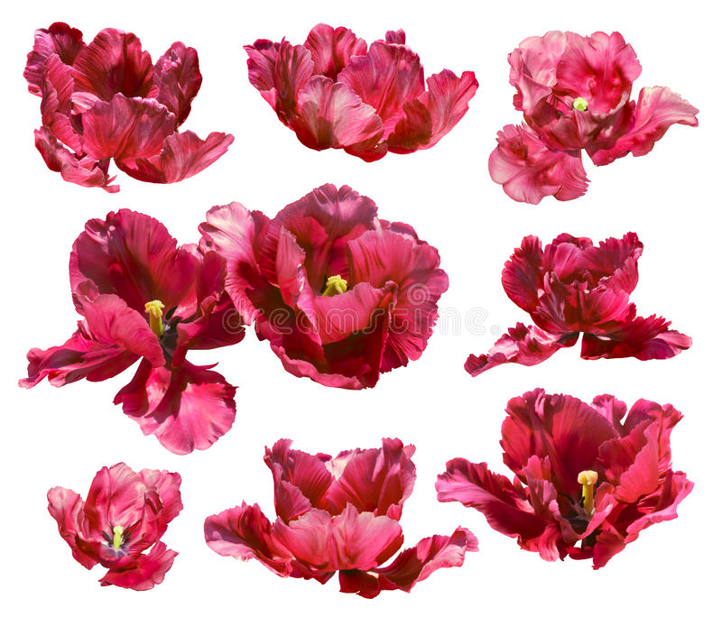 Collection of tulips isolated on white background. Vector path!. Collection of coral red tulips isolated on white background. Clipping path royalty free stock image