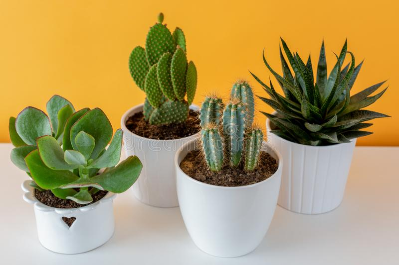 Potted cactus house plants on white shelf against pastel mustard colored wall. Collection of various cactus and succulent plants in different pots. Potted stock photography