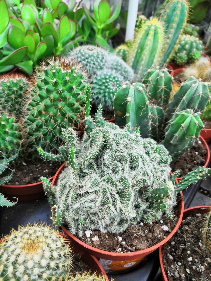 Collection of various cactus and succulent plants in different pots. stock photography