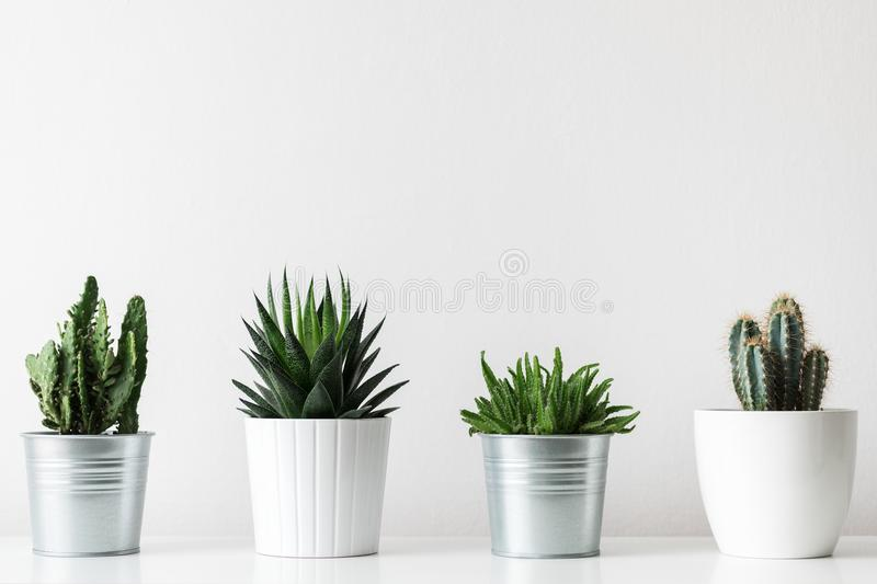 Collection of various cactus and succulent plants in different pots. Potted cactus house plants on white shelf. royalty free stock image
