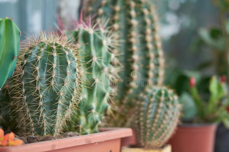 Collection of various cactus and succulent plants in different pots. Potted cactus house plants on the windowsill royalty free stock image
