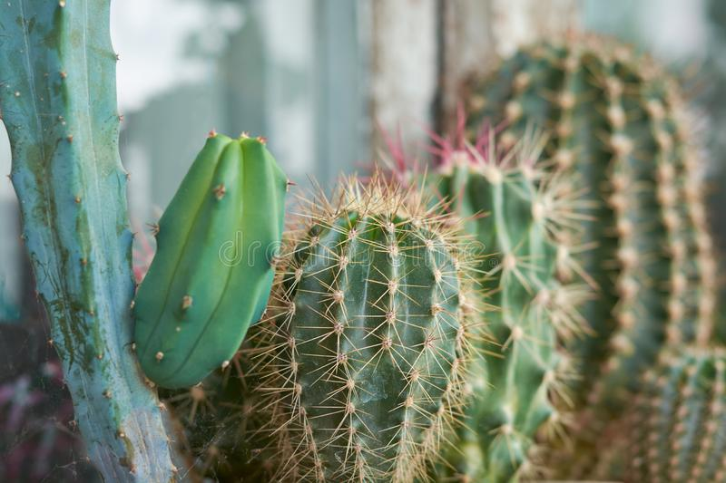 Collection of various cactus and succulent plants in different pots. Potted cactus house plants on the windowsill.  royalty free stock image