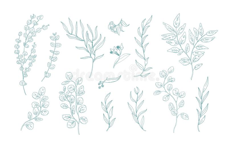 Collection of various eucalyptus branches with leaves hand drawn with green contour lines on white background. Bundle of vector illustration