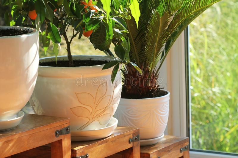Collection of various flowers and plants in different pots. Potted house plants on wooden tables stock photography