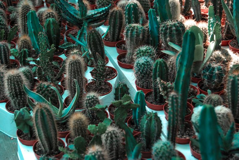 Collection of various green cactuses. House succulent plants with thorns. stock images