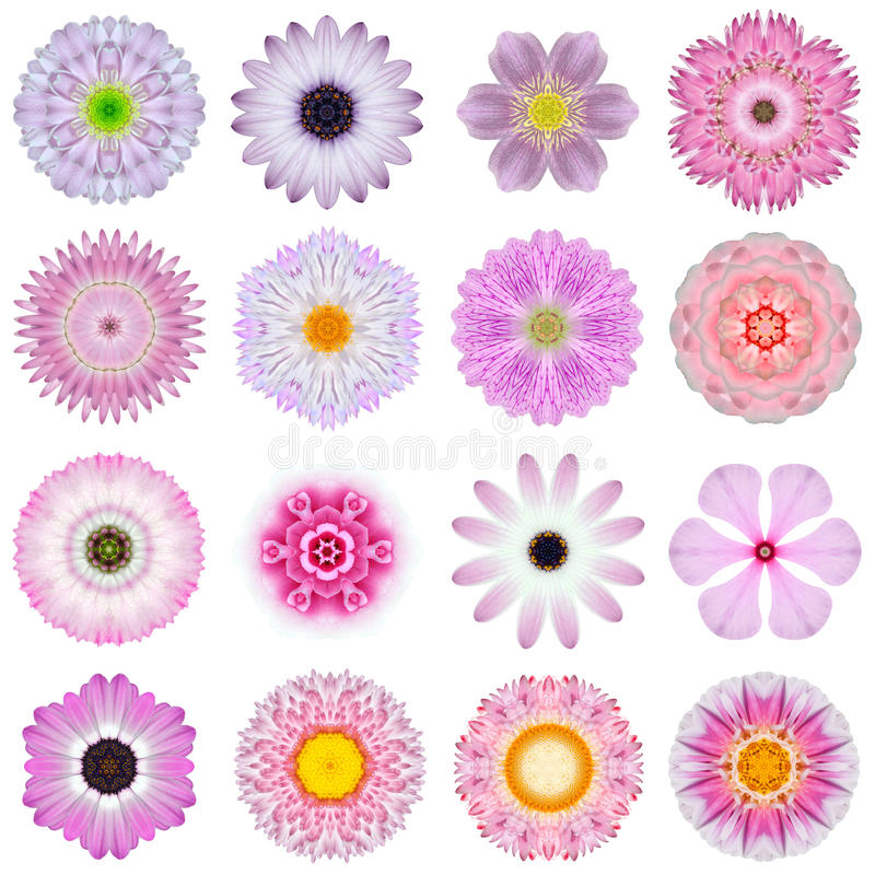 Collection Various Pink Concentric Flowers Isolated on White royalty free stock photos