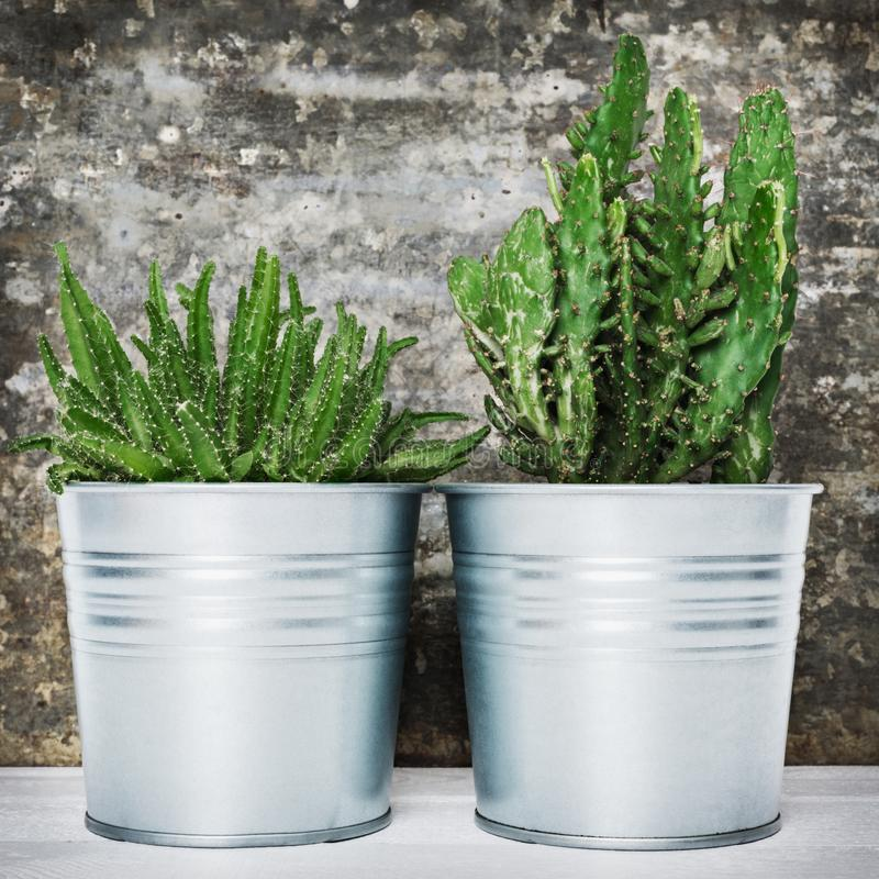 Collection of various potted cactus and succulent plants. Potted cactus house plants against retro grunge wall. royalty free stock image