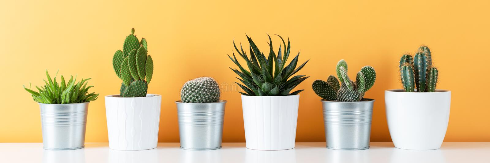 Collection of various potted cactus and succulent plants on white shelf against warm yellow colored wall. House plants banner. stock image