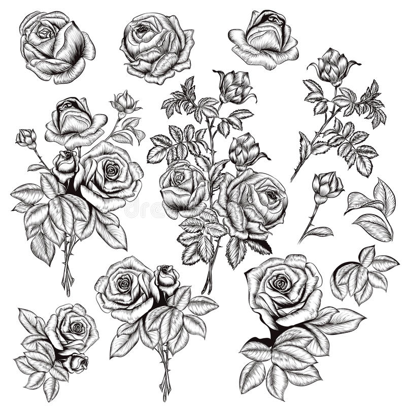 Collection of vector hand drawn roses for design in engraved sty vector illustration