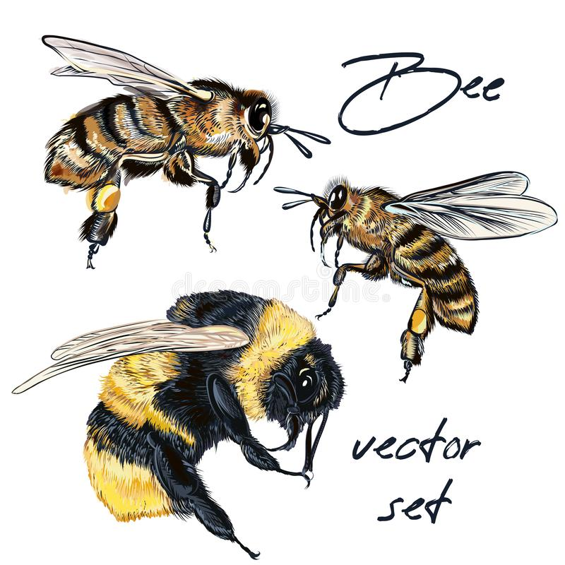 Collection of vector realistic bee, bumblebee in realistic watercolor hand drawn style. Realistic vintage style, insects macro stock illustration
