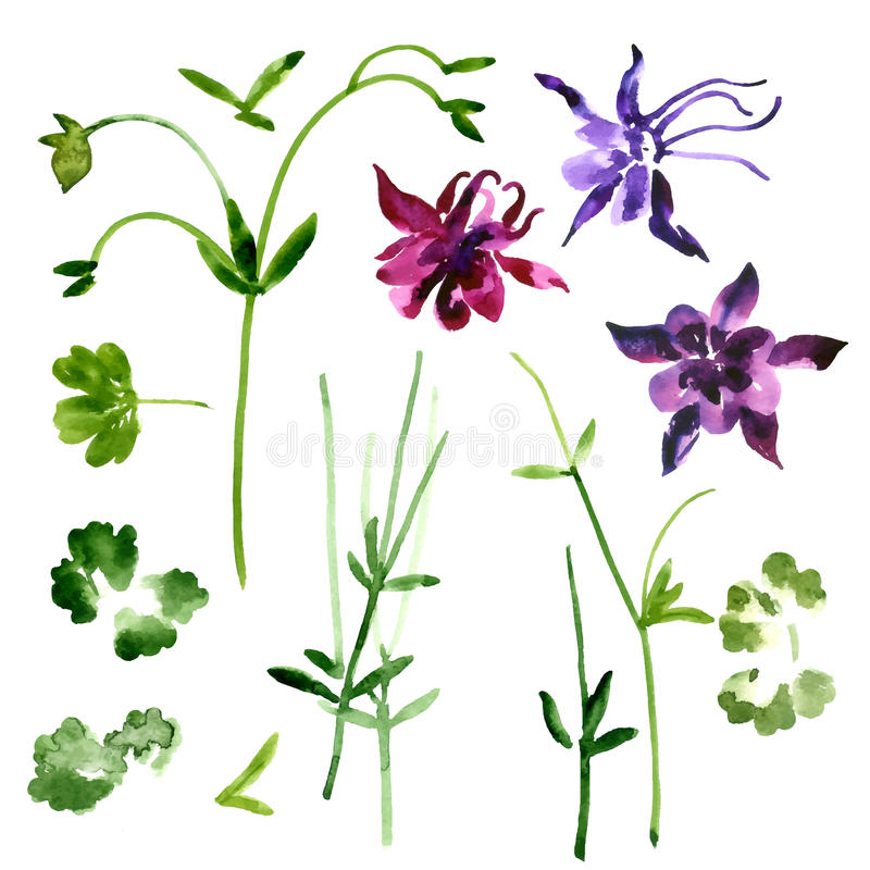 Collection of watercolor aquilegia flowers vector illustration
