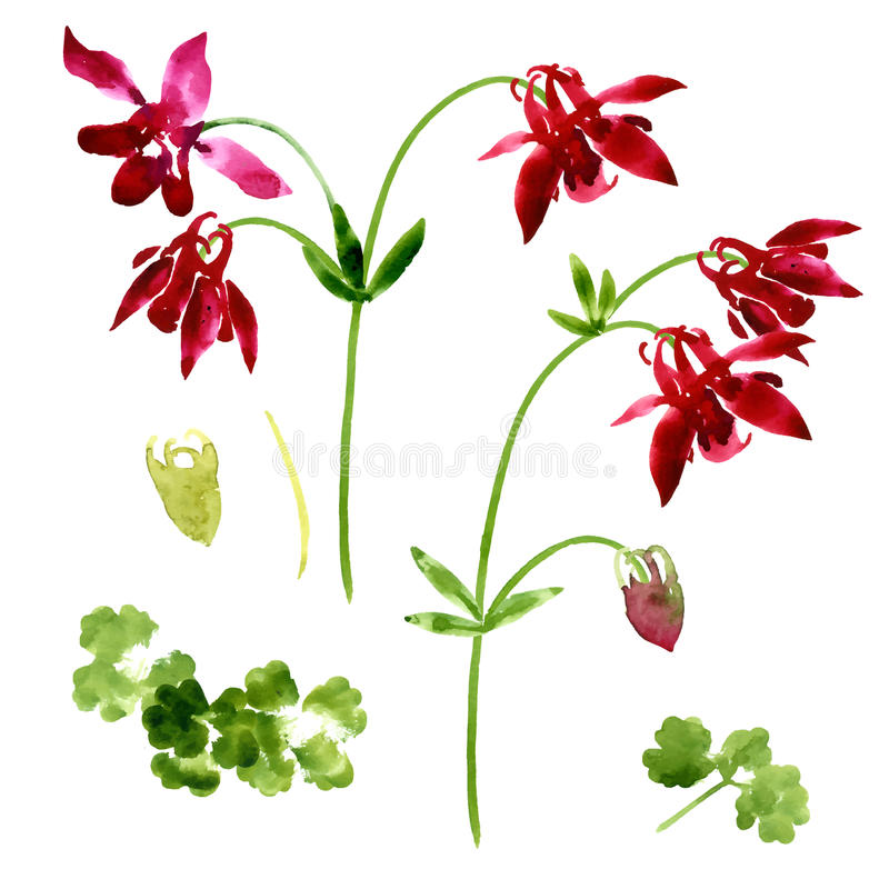 Collection of watercolor aquilegia flowers stock illustration