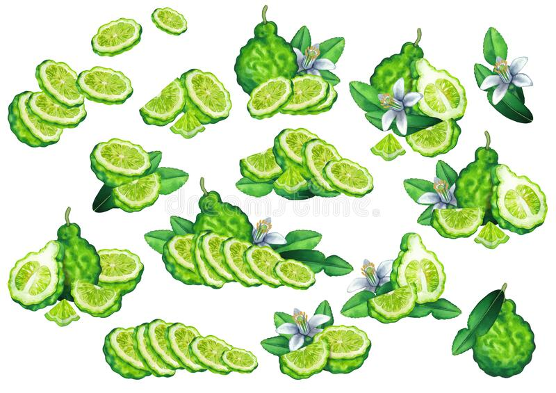 Collection of watercolor bergamot fruits, leaves and flowers. stock photography