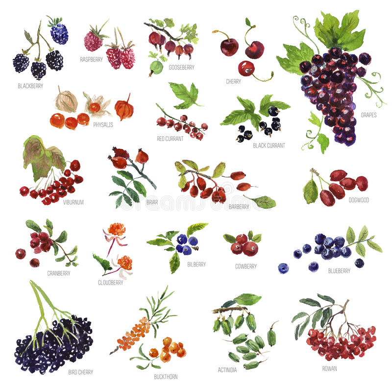 Collection of watercolor hand drawn berries on white background. Good for book illustration, magazine or journal article vector illustration