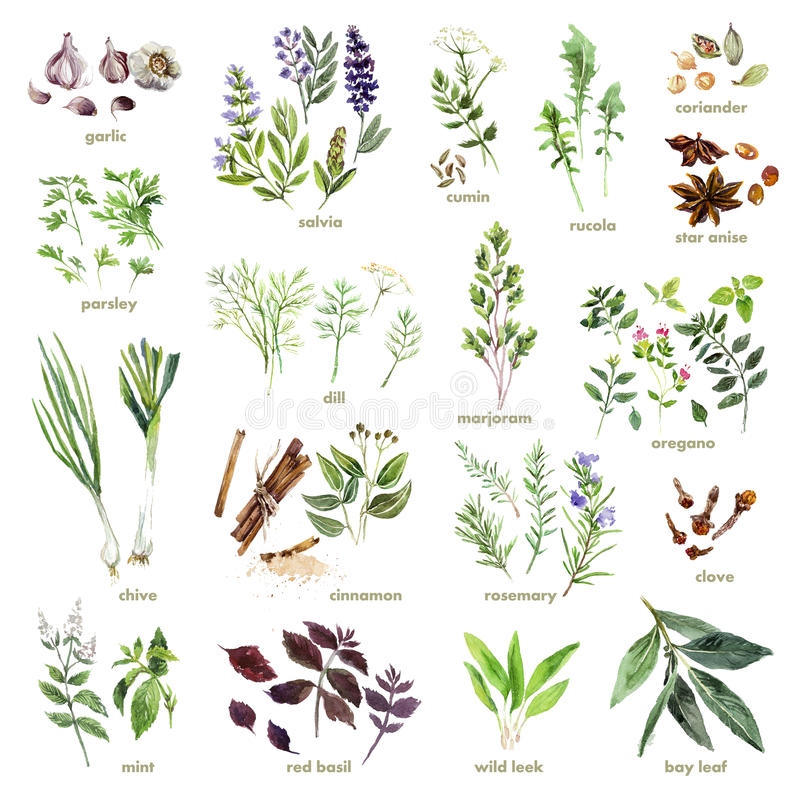 Collection of watercolor hand drawn herbs on white background. Good for book illustration, magazine or journal article