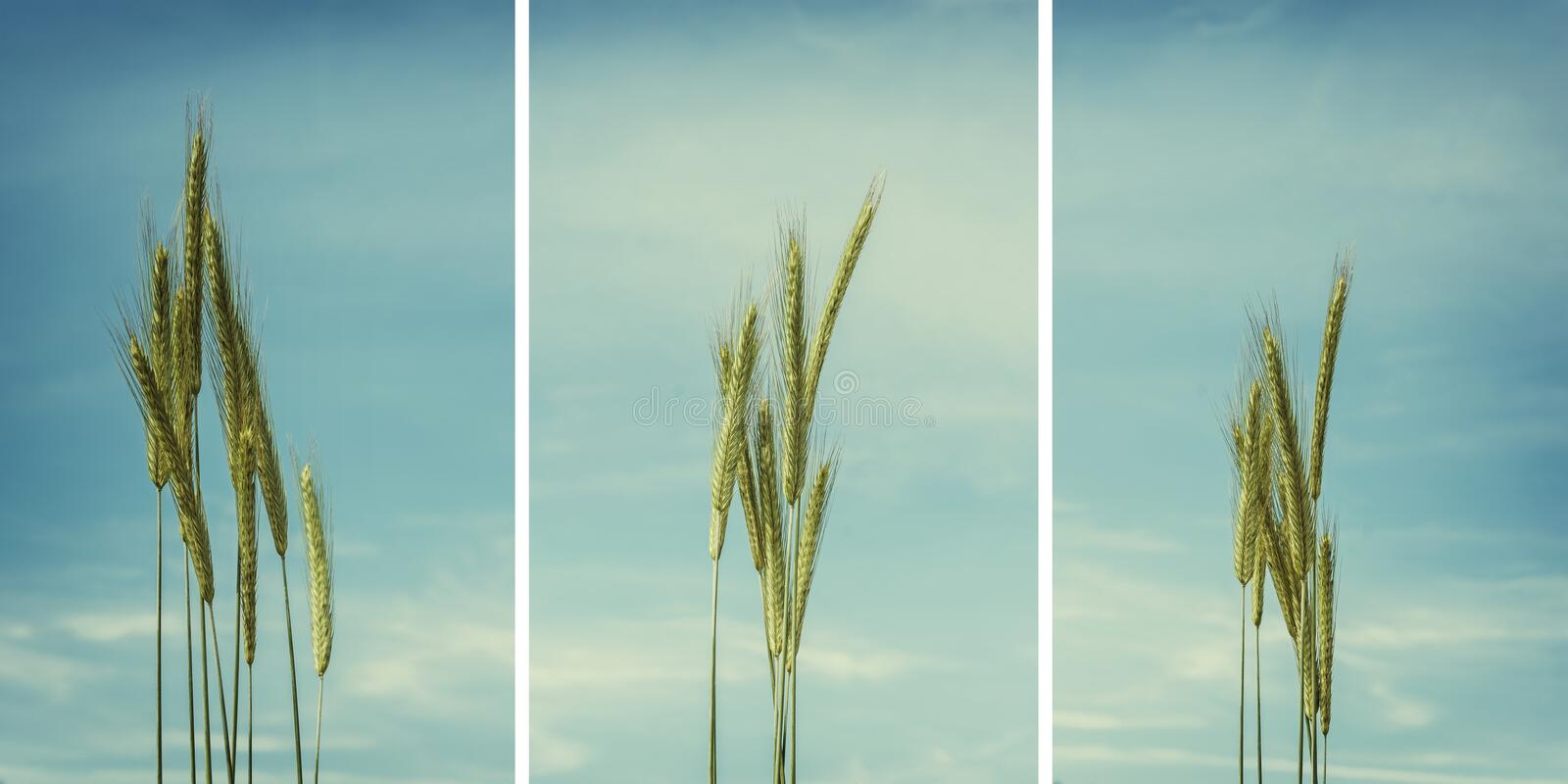 Collection of wheat ears isolated on blue, cyan cloudy sky in ba royalty free stock images