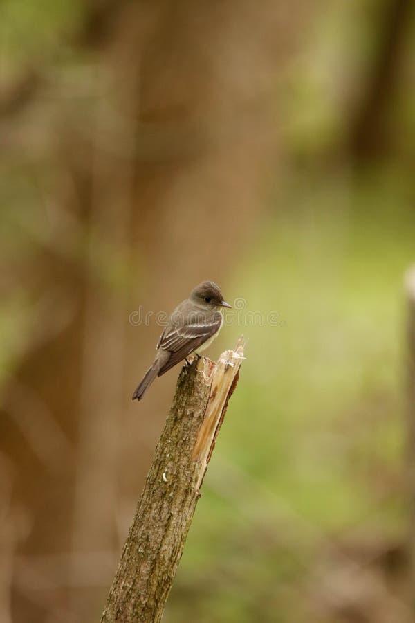Collettore della mosca su un ramo fotografia stock libera da diritti