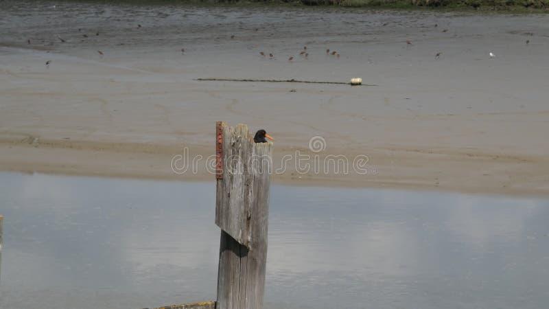 Collettore di ostrica su un incastramento e sul godere della sponda del fiume del giorno 2 fotografie stock libere da diritti