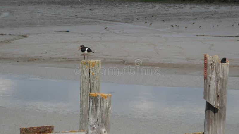 Collettore di ostrica su un incastramento e sul godere della sponda del fiume del giorno 3 fotografia stock libera da diritti