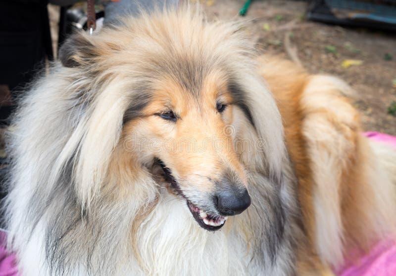 Colley rugueux également connu sous le nom de colley aux cheveux longs ou C écossais photos stock