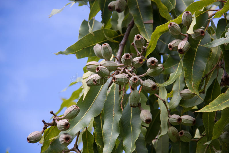 Collez les écrous sur un arbre avec le fond de ciel photos libres de droits