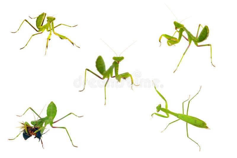 Collezioni del primo piano del Mantis isolate su briciolo fotografia stock
