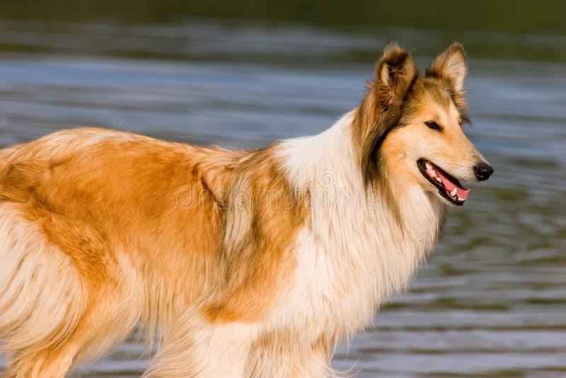 Download Collie áspero imagem de stock. Imagem de boca, água, cão - 12807319