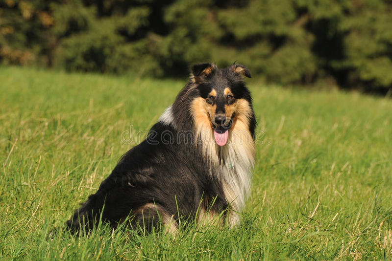 Collie-áspero foto de stock royalty free