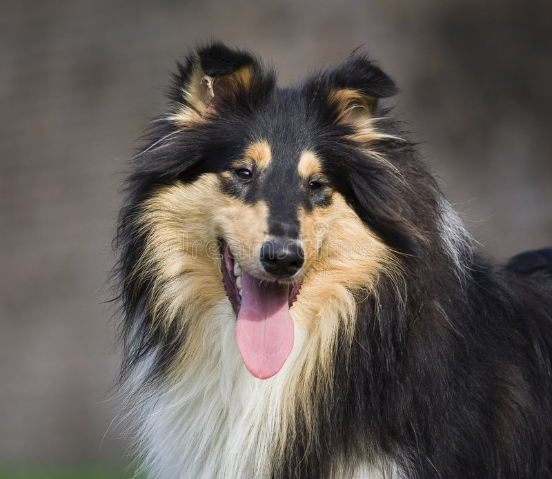 Download Collie stock photo. Image of animal, brown, sheperd, collie - 1404960