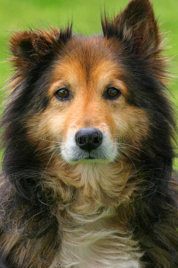 Collie. Looking directy into the camera's lens royalty free stock images