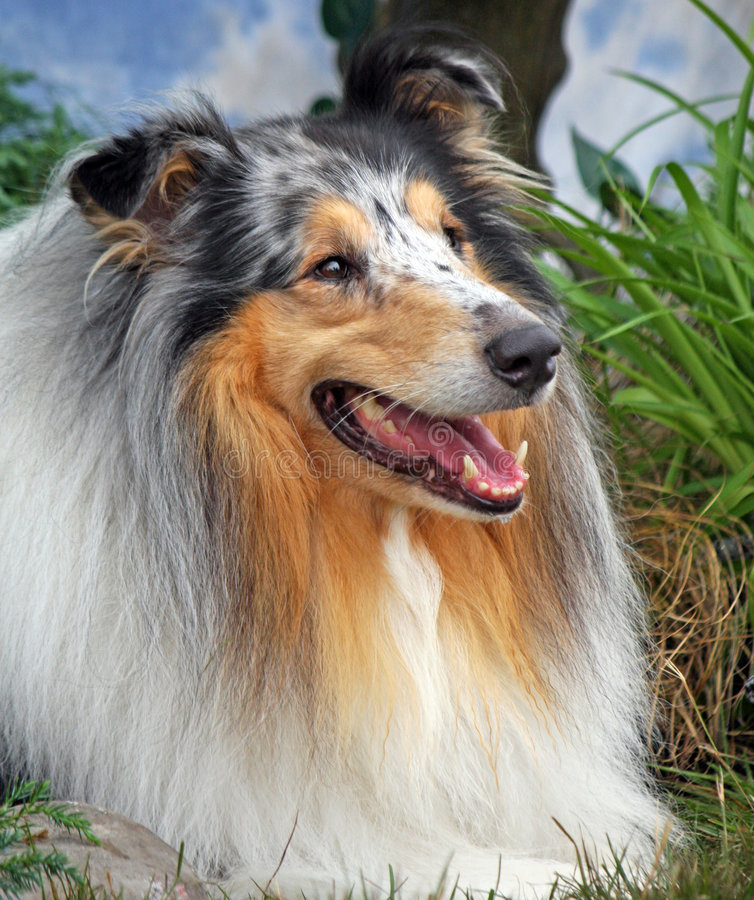 Collie. Portrait of a beautiful Rough Collie dog in a laying position and in close-up